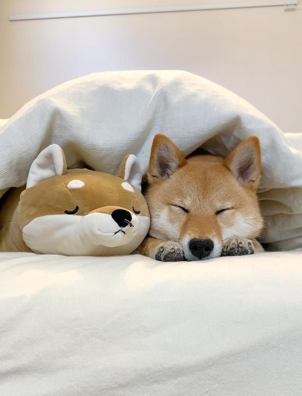 画像3 36 癒やし効果抜群 10万人超のファンを魅了する 豆柴 はなちゃんの 寝姿コレクション ウォーカープラス 可愛い犬 かわいいペット 柴犬 可愛い
