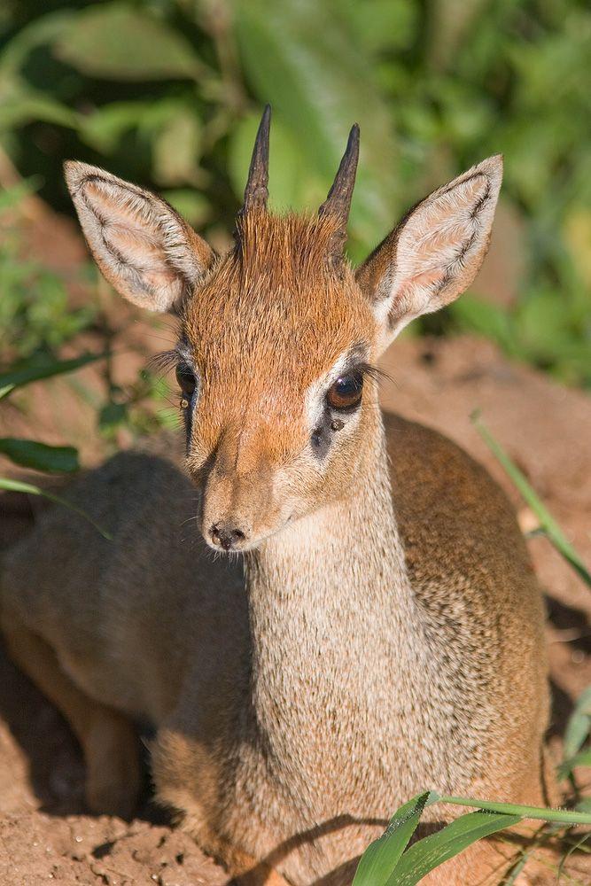 dik-dik | an antelope.