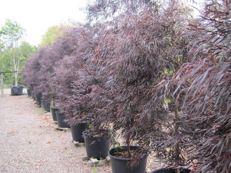 gardenia tree mature height