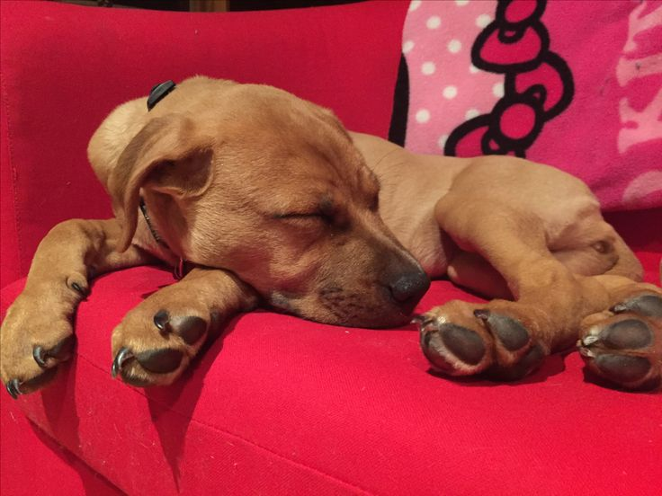 Chiot boxer x pitbull  3 mois
