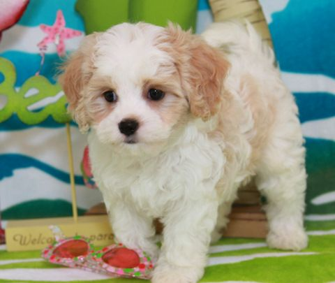 Cavachon Puppies By Foxglove Farm | Cavachons For Sale