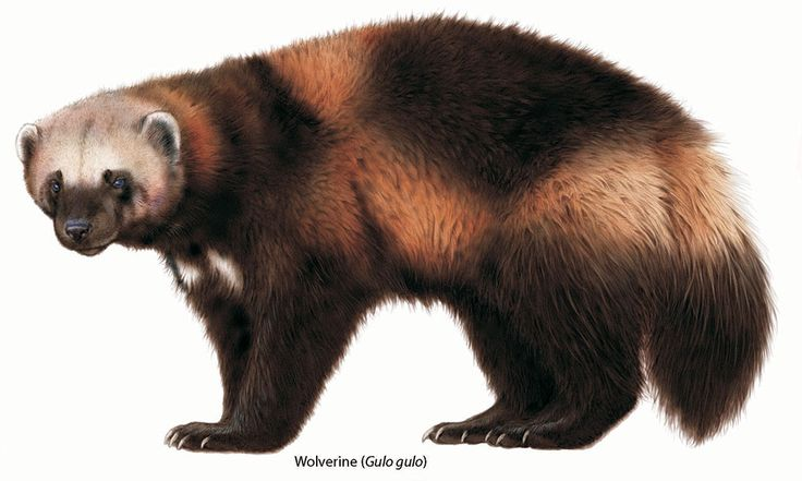 Wolverine Animal - Google Search