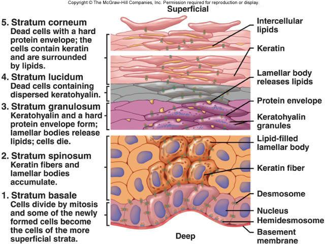 Great for Study review! Anatomy of the Epidermis - Essential principles of human anatomy and physiology are presented, including basic chemistry, cell and tissue studies, and an overview of all the body systems. Intended as a survey course for certain allied health and social service programs, and as a general natural science course