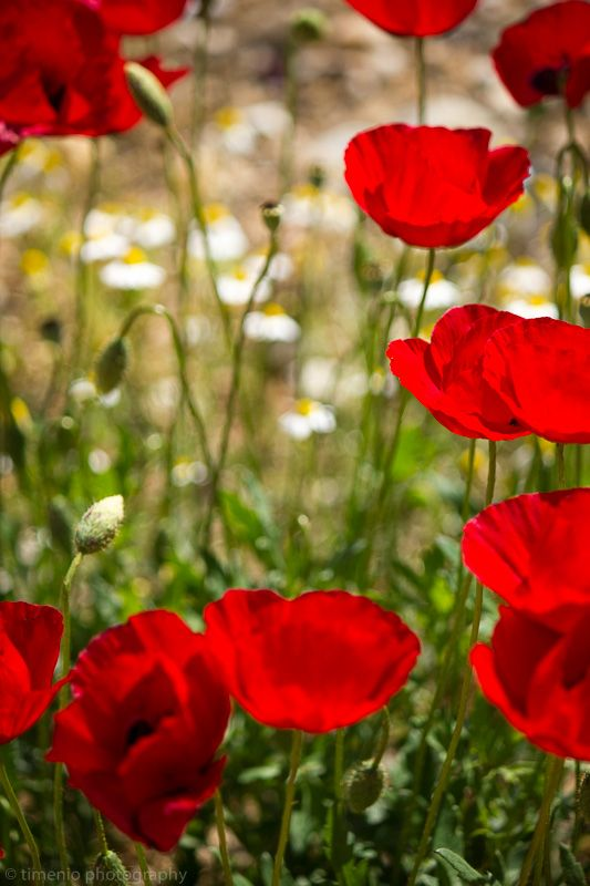 In Argos, Greece this spring a tight angle on some poppies and chamomile in the background. I could print this one and make wallpaper out of it and it would calm me