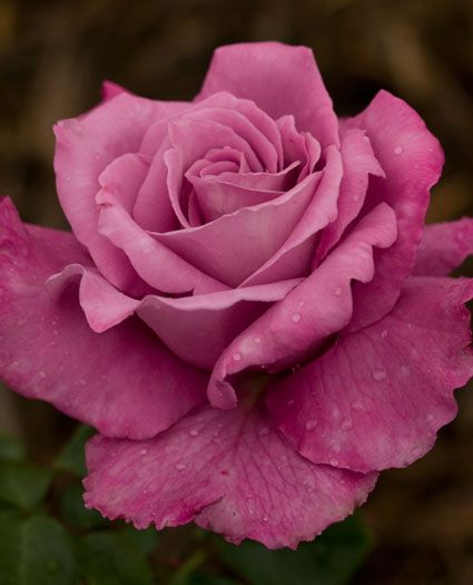 JP: Royal Amethyst (Blue Moon) - Blended Lavender Hybrid Tea Roses