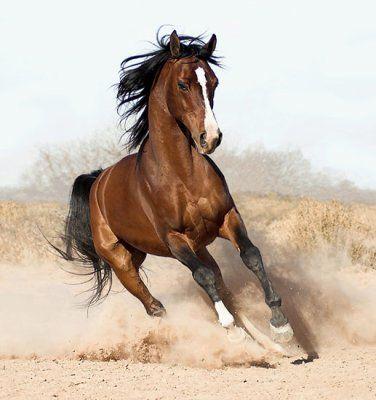 cheval pur sang arabe