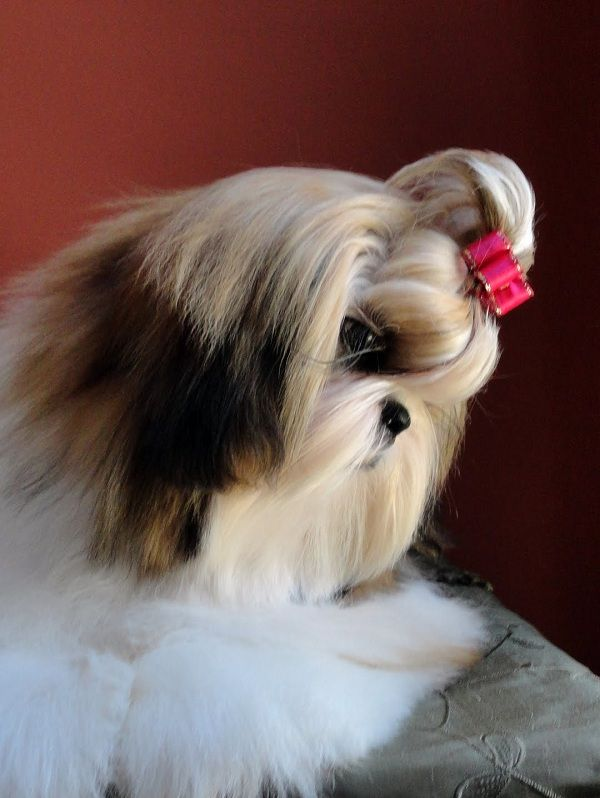 long haired shih tzu 66 best images about long haired shih tzu on pinterest 7465