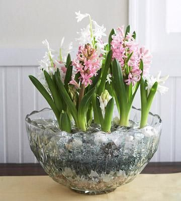 How to Grow Indoor Blooms and Bulbs...Hyacinths, tulips, crocuses, orchids, daffodils, African violets,