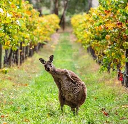 Have fun and in style in the Barossa Valley with breakfast with the kangaroos