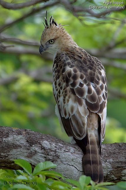 Changeable Hawk-Eagle (Nisaetus cirrhatus) - breeds in the Indian Subcontinent, across Southeast Asia, Indonesia and the Philippines.