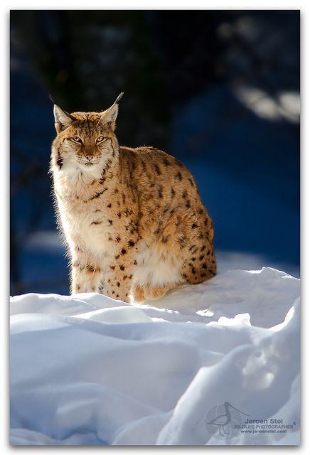 Eurasian Lynx-Lynx lynx