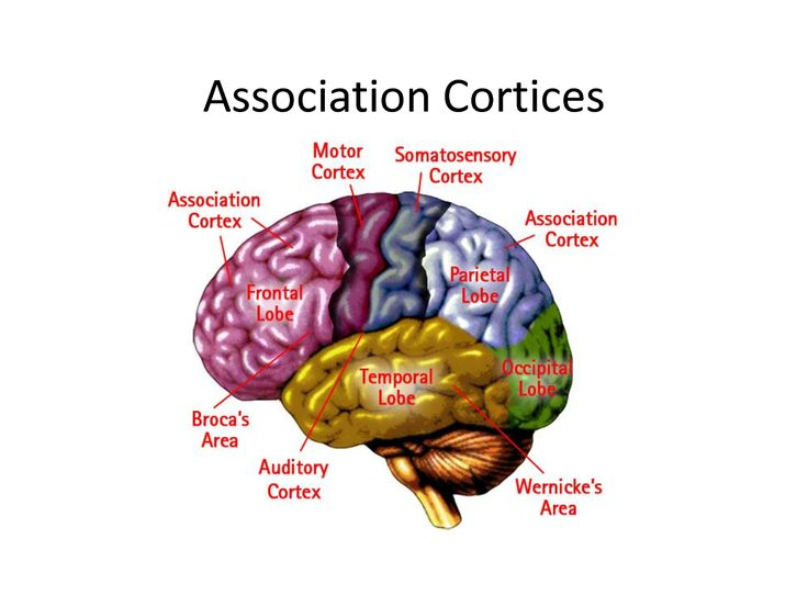 Cortices of the Brain. Primary Motor Cortex