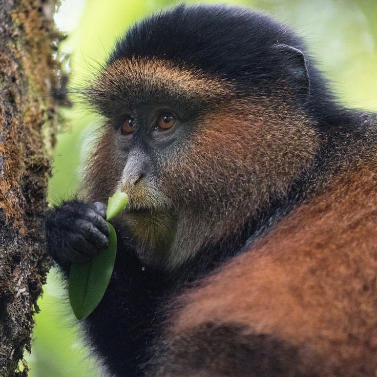 Golden Monkey  in Uganda #goldenmonkey #monkey #uganda #wildlife #tourism #tours #travel #agent #travelagent #follow #igtravel #instatravel #travelblogger #travelphotography #travelphotographer #igmyshot #structuresoftheworld #artofvisuals #houseoftones #tourism #tours #travel #agent #travelagent #follow #igtravel #instatravel #travelblogger #travelphotography #travelphotographer