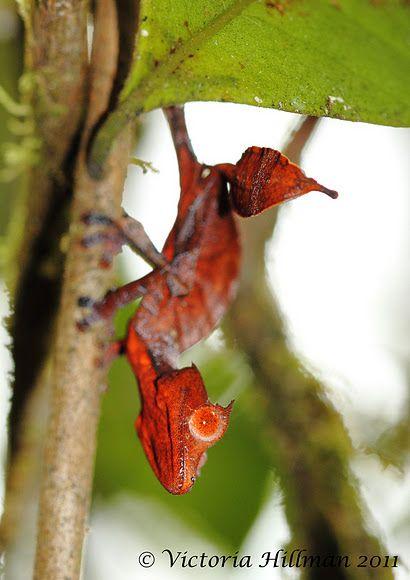"the ""Satanic Leaf-tailed Gecko""! (Uroplatus phantasticus). Photo taken by Victoria.vikspics in Fianarantsoa, Madagascar."