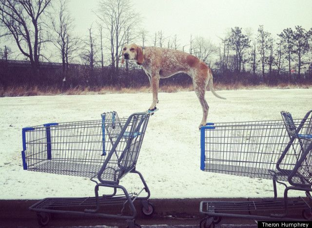One in a series of his coonhound standing on stuff (Theron Humphrey, photographer).