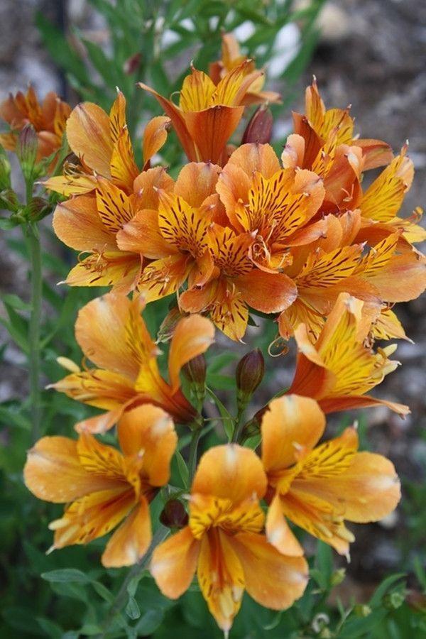 ушки альстромерии оранжевые фото сортов в парке пожилую новинку