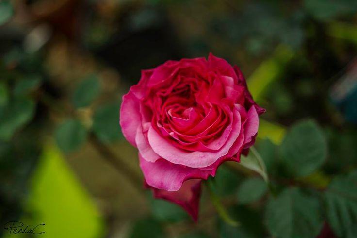 #OldCity #PinkRose #RosaraieProvins #France #Provins #CityofRoses #Flowers