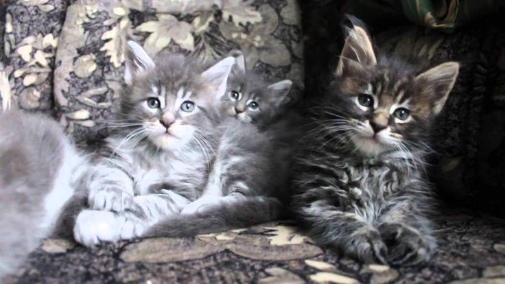 Kittens Maine Coon, Котята мейн кун