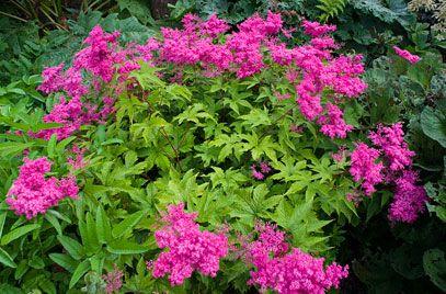 RHS Plant Selector Filipendula purpurea / RHS Gardening