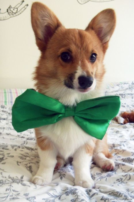 Bow ties are cool.Christmas Cards, Funny Dogs, Bows Ties, Bow Ties, Saint Patricks Day, Welsh Corgis, Bowties, Baby Animal, Big Bows