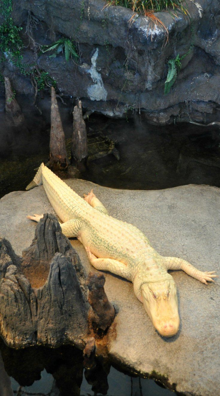 Stop by the California Academy of Sciences to visit Claude, a rare white Alligator.