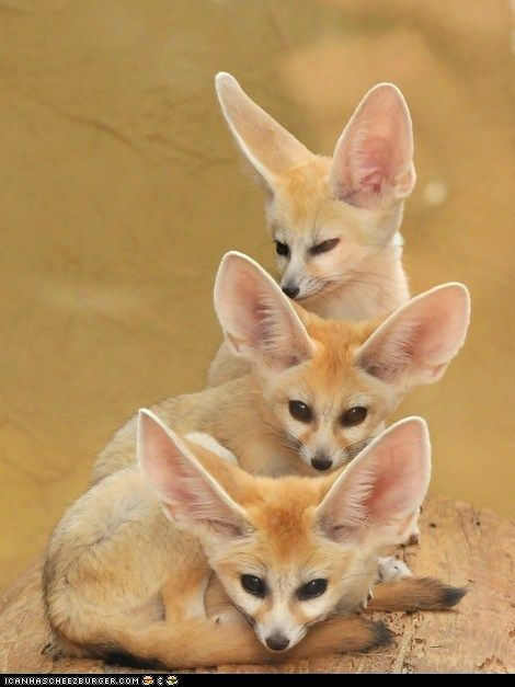 Fennec FoxesAnimal Photography, Nature Pictures, Ears, Totems Pole, Mr. Big, Amazing Animal, Funny Animal, The Zoos, Fennec Foxes