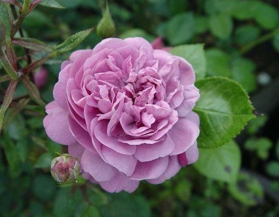 blue boy centifolia shrub rose mauve or purple blend strong fragrance kordes 1958. Black Bedroom Furniture Sets. Home Design Ideas