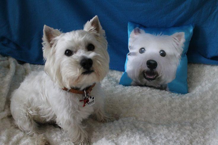 #westie #westhighlandwhiteterrier #cushion #mydog #mywestie #animal
