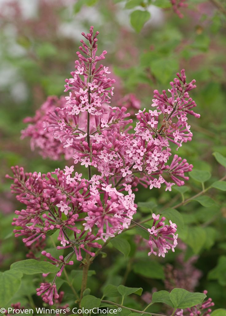"""Bloomerang® 'Pink Perfume' - Reblooming Lilac - Syringa. Fragrant pink flowers in spring, then again mid-summer to fall. 48-60"""""""