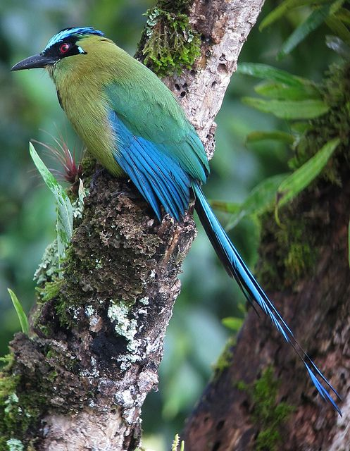 The Blue-crowned Motmot (Momotus momota) is a colourful near-passerine bird found in forests and woodlands of eastern Mexico, Central America, northern and central South America, and Trinidad and Tobago.