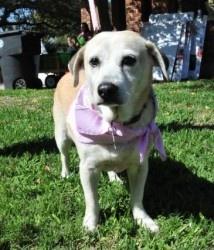 Pumpkin is an adoptable Labrador Retriever Dog in Houston, TX. Meet Pumpkin Pie (Pumpkin for short)! Pumpkin is a little lab/terrier mix that was found while we were searching for our lost boy Rhett o...