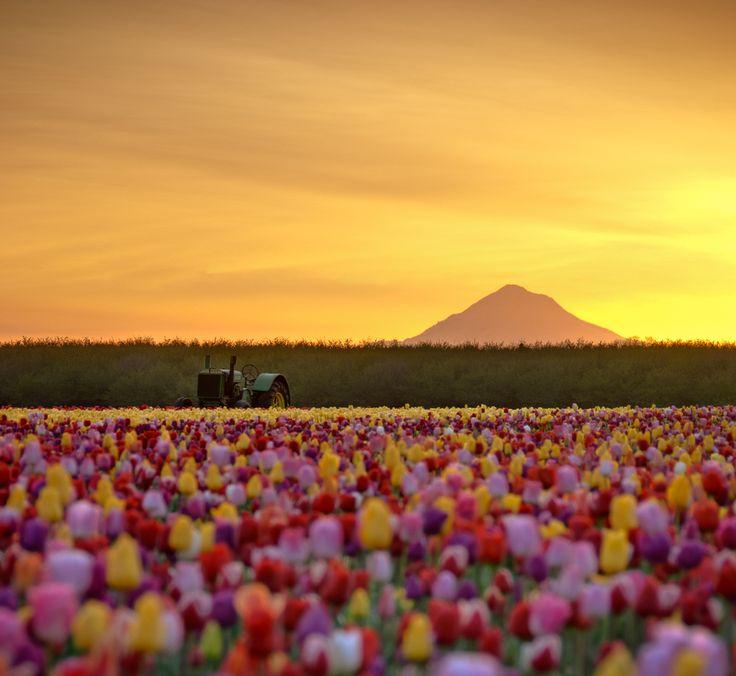 tulip fieldsPhotos, Oregon, Fields Of Flower, Tulip Fields, Dreams, Beautiful, Tulip Festivals, Gardens, Places
