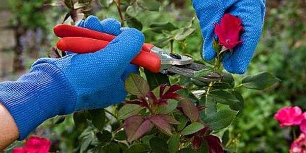 potare le rose