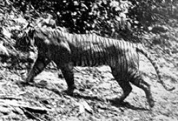 The Javan tiger was a native to the Indonesian island of Java.  In the 1800s. They were so common that they were considered to be pests by island natives.  As the island was developed, the Javan tiger lost its habitat  to construction and agriculture.  It's population declined rapidly and conservation efforts during the 1940s and 1950s were unsuccessful.  By the 1950s, only 20 Javan tigers remained.  They became extinct in 1979.