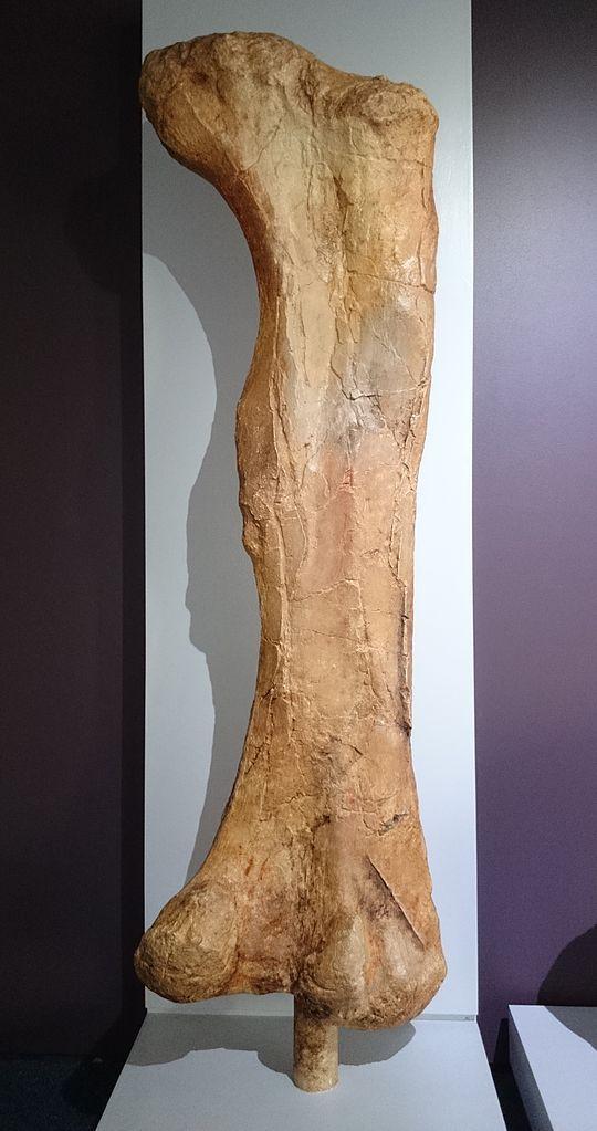 540px-Iziko_Dinosaur_(Diplodocus)_thigh_bone.JPG (540×1023) - Dinosauria, Saurischia, Sauropodomorpha, Sauropoda, Diplodocoidea, Diplodocidae. Auteur : Nkansahrexford, 2014.