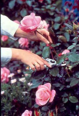 Roses | Today's Garden Ideas