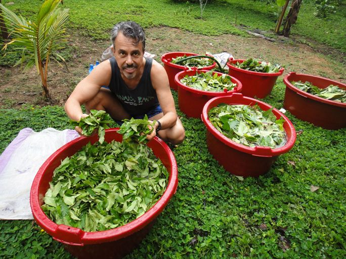 Chris Kilham with Chakruna leaves, at Blue Morpho. Chakruna is one of two essential plants for making ayahuasca. Photo by Zoe Helene.
