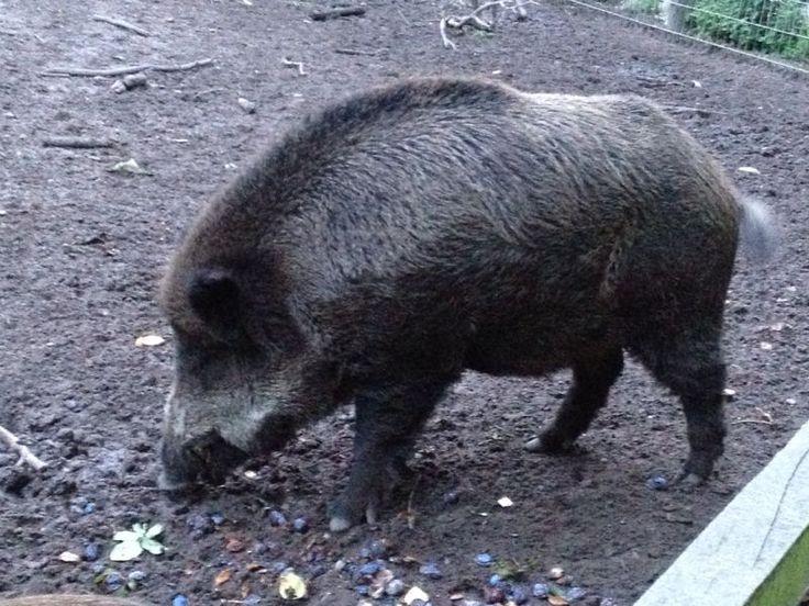 Wildschwein im Käfertalerwald
