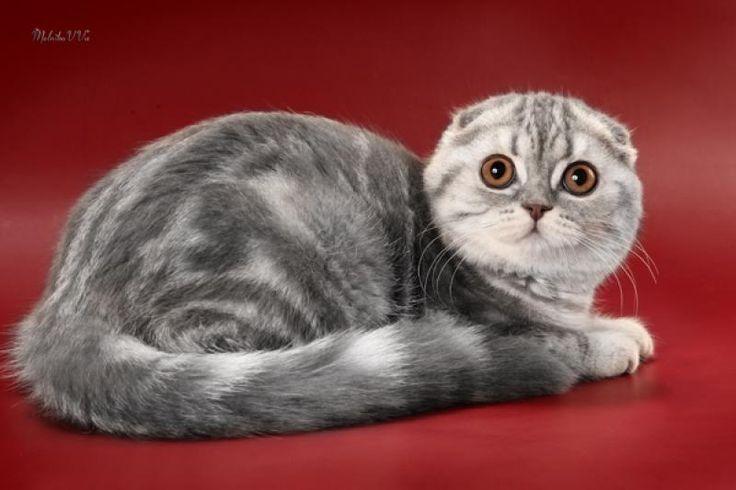 Scottish Fold Kittens For Sale - Kittens