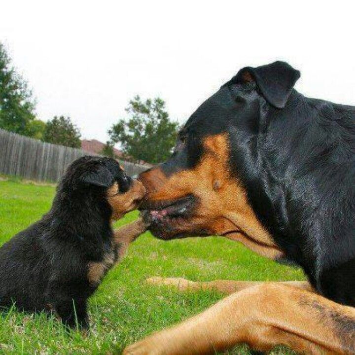 Rotties are so sweet.... YES