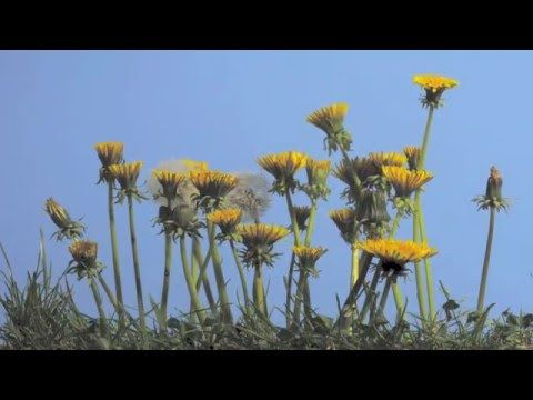 Timelapse paardenbloemen in het veld