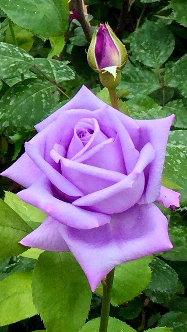 Pin De Steven Zeimbekakis Em 1 A File General Rosas Roxas Bela Rosa Roseiras