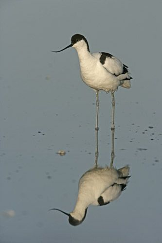 Avocet, Recurvirostra avosetta, reflection, Texel, Holland