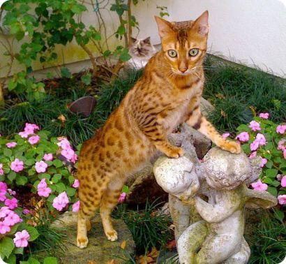 El gato de Bengala, un leopardo en miniatura | Gatos domésticos