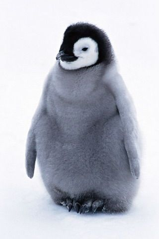 Cute baby emperor penguin - photo#23