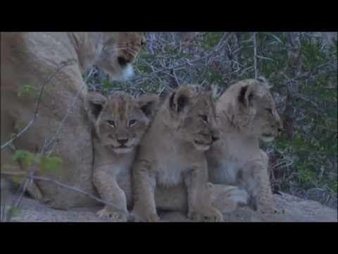 Safari Live : Three new Nkuhuma Lion Cubs as seen on morning drive  July...