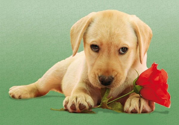 Dog Love - Rose - http://www.google.com.br/imgres?q=dog+with+rose=pt-BR=d=840=562=isch=ooDUBn3JFVAfHM:=http://www.puzzlewarehouse.com/Dog-with-Rose-30392cle.html=XpNkdsO3KovS2M=https://d3373c9sxdao7y.cloudfront.net/content/product/large/dog-with-rose.jpg=600=419=XegHUZncBbDx0wHi8IHgAw=1=1t:3588,r:6,s:0,i:97=rc=318=102385020885115846344=2=170=259=6=9=172=90 - dog-with-rose.jpg (600×419)
