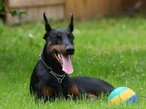 Anjing Doberman Pinscher