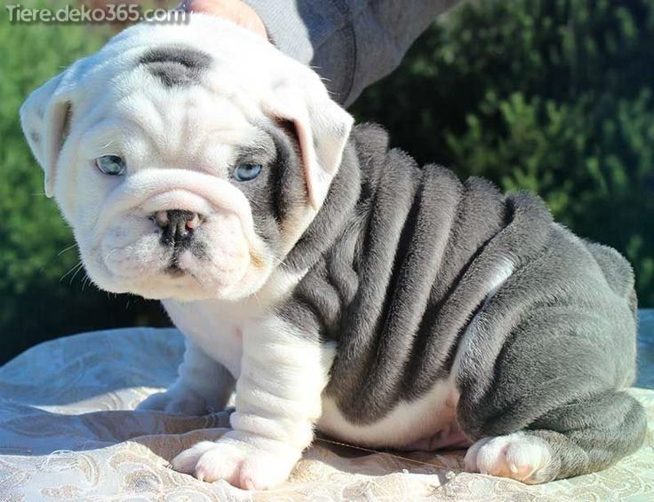 Unglaubliche Beste Weisse Englische Bulldogge Beste Bulldogge