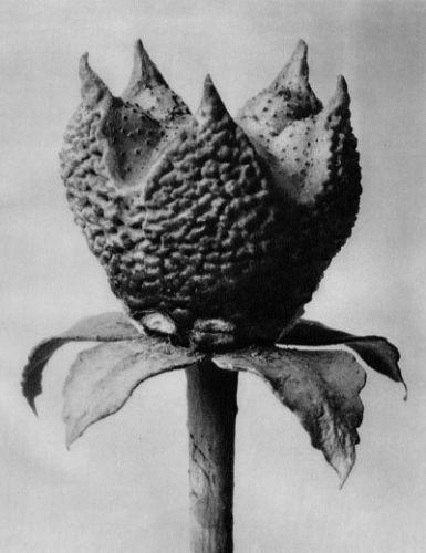 Karl Blossfeldt   Ruta graveolens, Common rue, herb of grace, young fruit with calyx